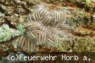 Ansammlung von Eichenprozessionsspinner auf dem Waldboden